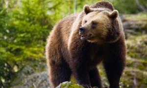 Αρκούδα εντοπίστηκε νεκρή από αστυνομικούς Εθνική Οδό Ιωαννίνων Κοζάνης