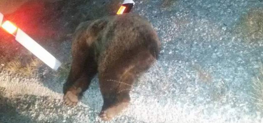 Σκληρές εικόνες: Φορτηγό συγκρούστηκε με αρκούδα στην Κοζάνη