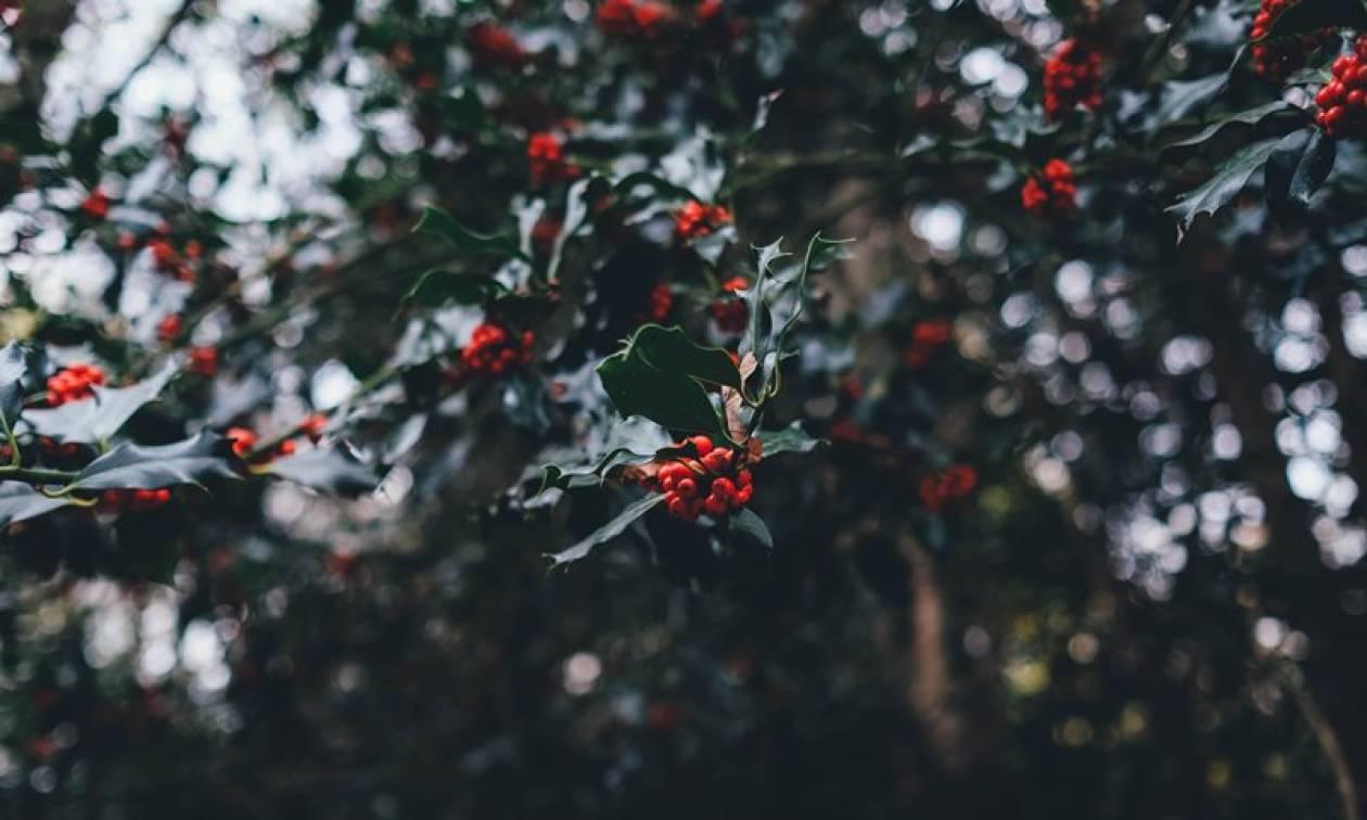 Χριστούγεννα 2017: Αυτά είναι τα φυτά της εποχής που δίνουν άλλο χρώμα στις γιορτές