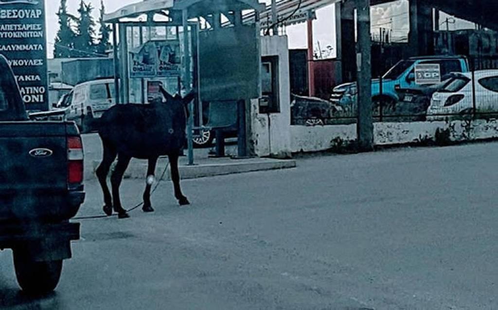 Γάιδαρος  έκανε βόλτες σε κεντρικούς δρόμους της Αθήνας (pics)