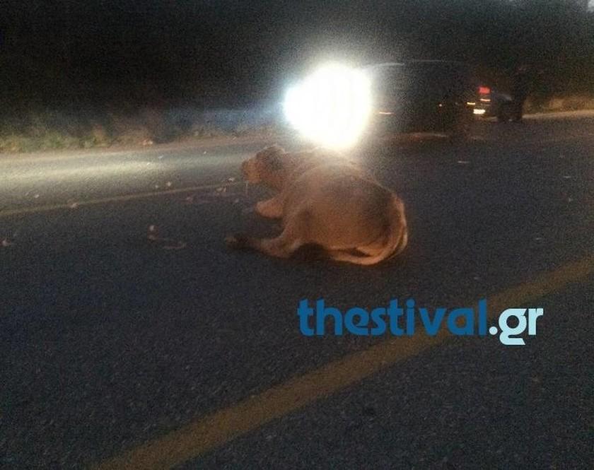 Νεα Θεσσαλονίκη: Σφοδρή σύγκρουση ΙΧ με αγελάδα στην Αριδαία (πολύ σκληρές εικόνες)