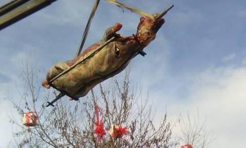 Οι Φεριώτες σούβλισαν και φέτος «τον μόσχο το σιτευτό» βάρους 295 κιλών! (Pics&vid)