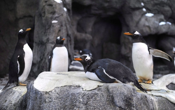 calgary zoo penguins.jpg.size.custom.crop.1086x685