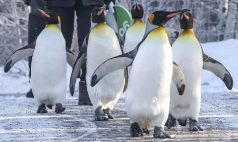 Πολικό ψύχος στον Καναδά: Ξέρεις ότι έχει κρύο όταν ακόμη και οι πιγκουίνοι δεν κάνουν «ρεβεγιόν»