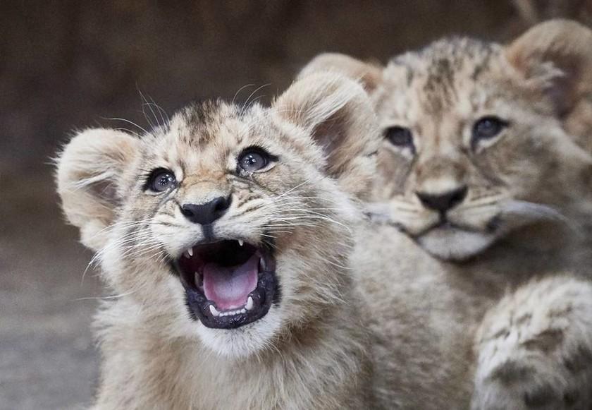 Αυτά είναι τα λιονταράκια που ήρθαν στον κόσμο λίγο πριν φύγει το 2017 (pics)