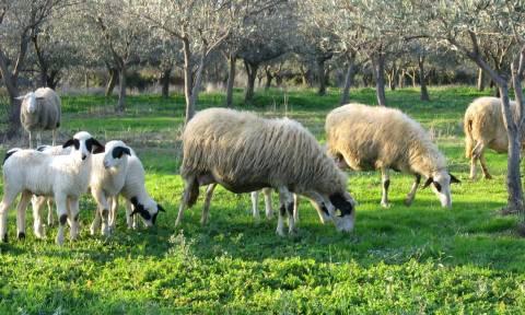 ΣΟΚ στη Μυτιλήνη: Μετανάστες έκλεψαν και έσφαξαν πρόβατα
