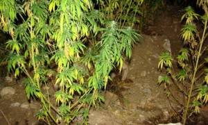 Κιλκίς: Συλλήψεις τριών νεαρών για καλλιέργεια κάνναβης