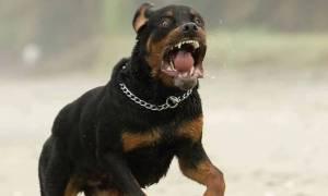 Τρόμος στα Χανιά: Αγέλη αδέσποτων σκυλιών επιτέθηκε σε περισσότερα από 20 άτομα