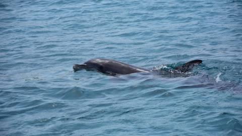 Χταπόδι έπνιξε δελφίνι την ώρα που το έτρωγε:Οι επιστήμονες απορούν