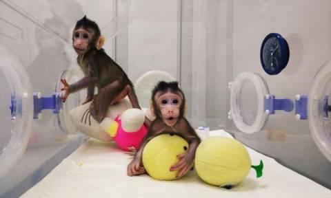 Απίστευτο: Επιστήμονες κλωνοποίησαν μαϊμούδες για πρώτη φορά – Επόμενο βήμα ο άνθρωπος; (Vid)