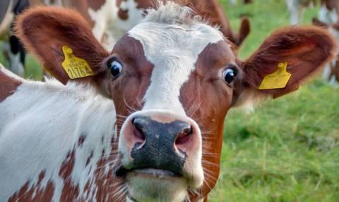 80χρονος συνελήφθη για σεξουαλική κακοποίηση αγελάδων (Photo)