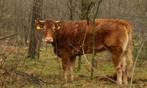 Κάνουν έρανο για να βγει στην σύνταξη μία ….αγελάδα!