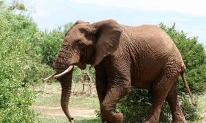 Άγριοι ελέφαντες ποδοπάτησαν… δικυκλιστή – Πέθανε ακαριαία