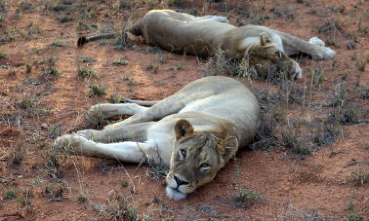 Λιοντάρια κατασπάραξαν λαθροκυνηγό στη Νότια Αφρική