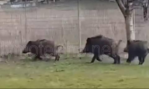 Απίστευτο βίντεο: Τα αγριογούρουνα βγήκαν… παγανιά στο Διδυμότειχο (vid)