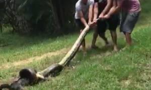 Απίστευτο βίντεο! Η δραματική στιγμή που αγρότες σώζουν κουτάβι από γιγάντιο ανακόντα