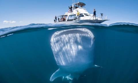 Τρόμος! Αυτή η φωτογραφία από το μεγαλύτερο ψάρι στον πλανήτη είναι αληθινή (Vid)