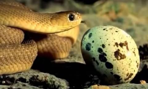 Ερπετολόγοι έχουν ένα κουτί γεμάτο αυγά φιδιών. Αυτό που κάνουν θα σας αφήσει άφωνους (video)