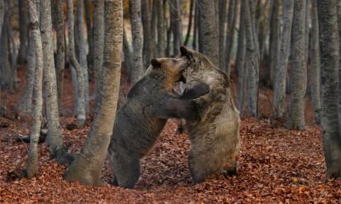 Νυμφαίο: Η άνοιξη είναι εδώ και οι αρκούδες ξύπνησαν! (pics&vid)