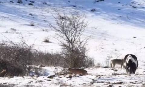 Αγέλη λύκων βρίσκει ένα άλογο μέσα στα χιόνια! Η συνέχεια είναι απίστευτη... (video)