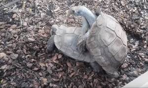 Ντιέγκο: Η χελώνα που σώθηκε λόγω υπερβολικού… σεξ! (video)