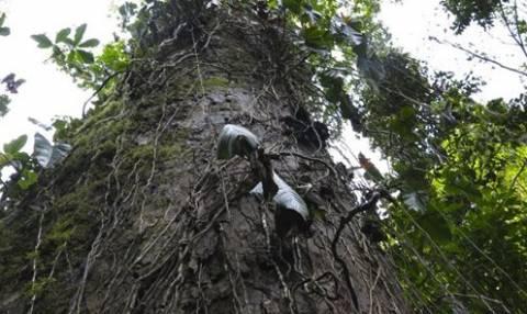 Απίστευτο: Δείτε το «μαγικό» δέντρο που προστατεύει τον πλανήτη