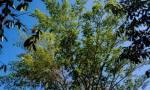 Guaimaro: Το μαγικό δέντρο που προστατεύει τον πλανήτη βρίσκεται στην Κολομβία!