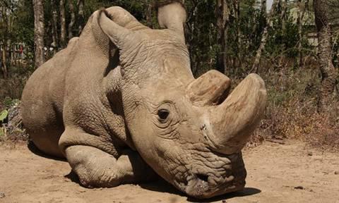 Τραγικά νέα: Πέθανε ο τελευταίος αρσενικός λευκός ρινόκερος στον κόσμο (Vid)