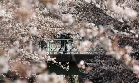 Ιαπωνία: Ονειρικές εικόνες - Οι θρυλικές κερασιές άνθισαν νωρίτερα! (pics)