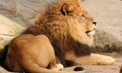 Βρέθηκαν απολιθώματα άγνωστου είδους λιονταριού!