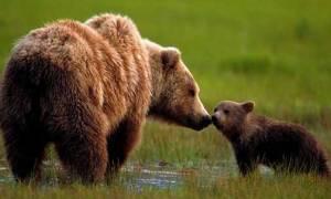 Απίστευτο: Δεν πάει ο νους σας τι έμαθαν να κάνουν οι αρκούδες για να γλιτώνουν από τους κυνηγούς!