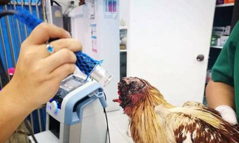 Απίστευτο: Αποκεφαλισμένη κότα ζει και μεγαλώνει κανονικά εδώ και μία εβδομάδα (pics)