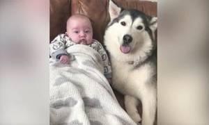 Αυτό το αξιολάτρευτο χάσκι και το μωρό είναι αχώριστοι (video)