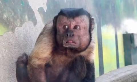 Μαϊμού με ανθρώπινο πρόσωπο «τρελαίνει» το διαδίκτυο (video)