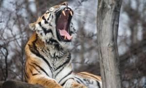 Ινδία: 23χρονη πάλεψε με τίγρη για να σώσει την κατσίκα της