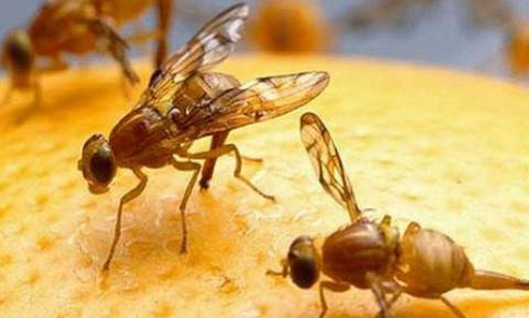 «Εξαπέλυσαν» φρουτόμυγες για να αντιμετωπίσουν επιδημία... φρουτόμυγων!