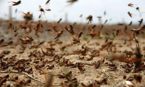 Ακρίδες «έπνιξαν» τη δυτική Μυτιλήνη και απειλούν τις καλλιέργειες