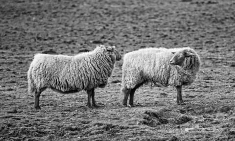 Κρήτη: Ύστατη προσπάθεια να σταματήσει η «βεντέτα» μεταξύ κτηνοτρόφων - Δίνουν όρκο στον Άγιο