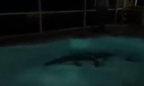 ΗΠΑ: Αλιγάτορας «βούτηξε» σε πισίνα σπιτιού και προκάλεσε πανικό! (vid)