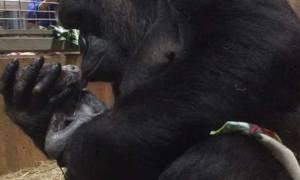 Ραγίζει καρδιές: Θηλυκός γορίλας αγκαλιάζει και φιλά το νεογέννητο μωρό του (video)