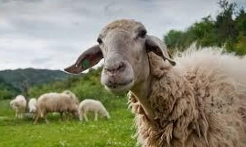 Η επαφή με τα πρόβατα ευνοεί τη σκλήρυνση κατά πλάκας