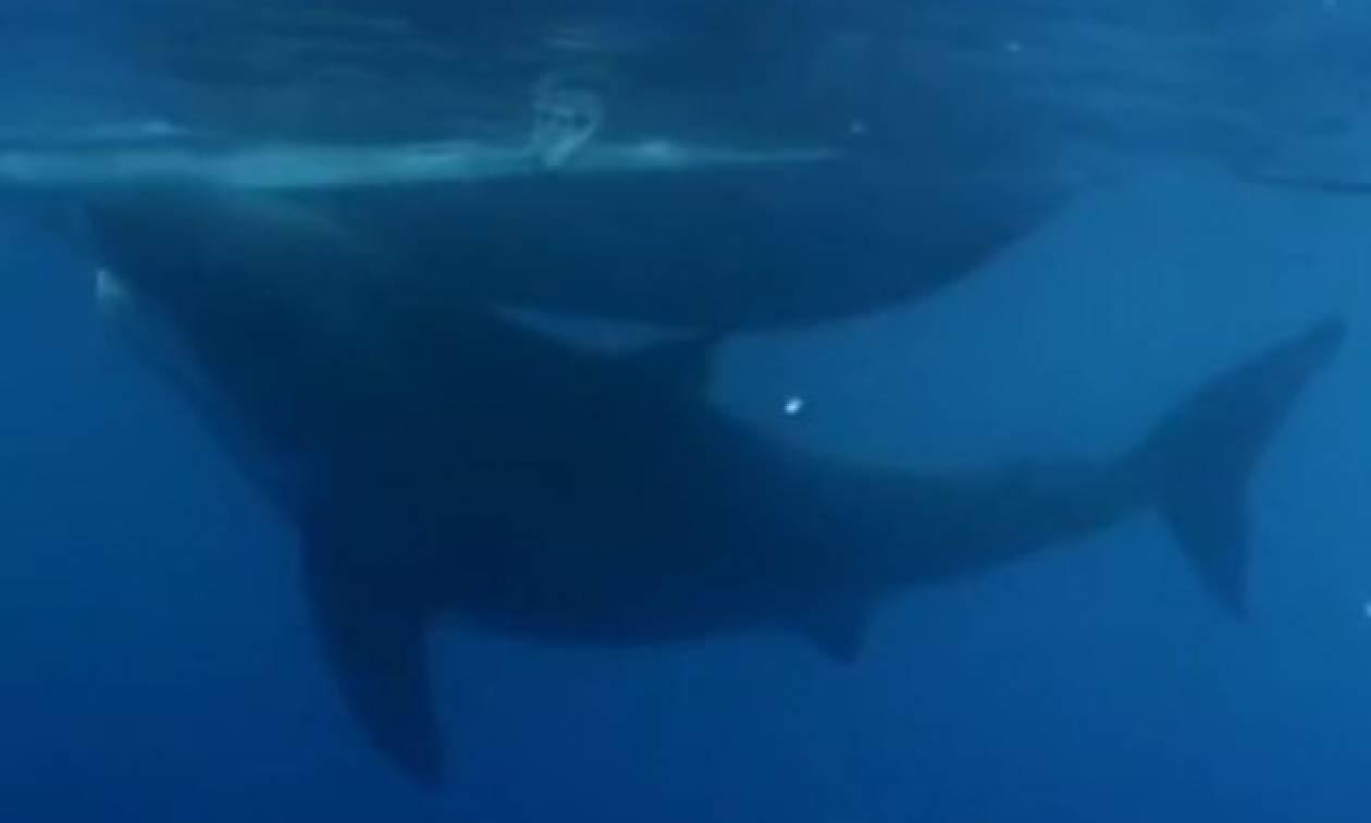 Ισχυρίζονται ότι αυτός είναι ο μεγαλύτερος καρχαρίας στον πλανήτη! Η εικόνα του τρομάζει (video)