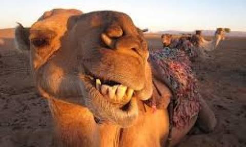 Το γάλα… καμήλας κάνει θραύση και πουλά σαν τρελό!