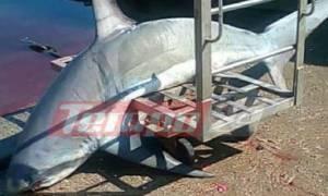 Έπιασαν καρχαρία «αλεπού» 200 κιλών στον Πατραϊκό