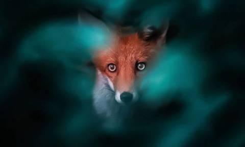 Αυτές οι αλεπούδες μοιάζουν να έχουν ξεπηδήσει από παραμύθι (pics)