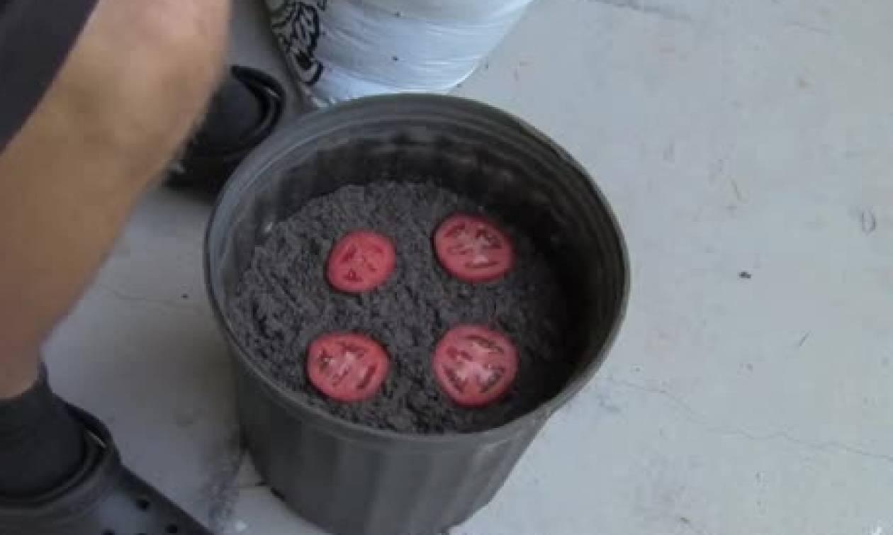 Εκοψε μια ντομάτα σε φέτες και την έβαλε σε μια γλάστρα. Θα το κάνετε αμέσως (video)