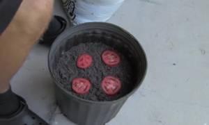Κόβει μια ντομάτα σε φέτες και την χώνει σε γλάστρα. Θα το δοκιμάσετε σίγουρα (video)