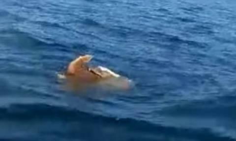 Σπάνιο θέαμα στην Αργολίδα: Θαλάσσιες χελώνες το κάνουν μέσα στη θάλασσα! (video)