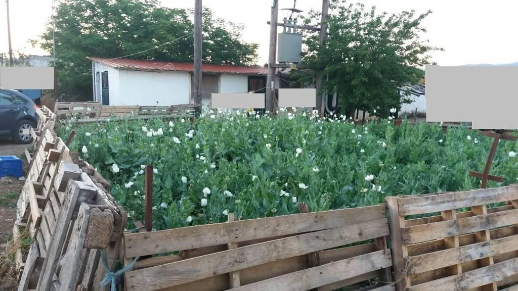 Αυτή είναι η μεγαλύτερη φυτεία με οπιούχα στην Ελλάδα - Δείτε πού εντοπίστηκε (pics)