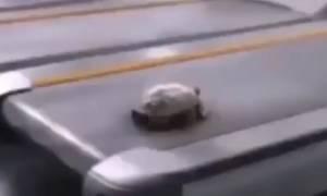 Απίστευτο βίντεο: Δεν φαντάζεσαι πόσο γρήγορα μπορεί να τρέξει μια... χελώνα!